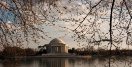 Cherry Blossom Centennial In Full Bloom